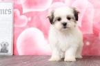 Iggy Lovable Female MalShi Puppy