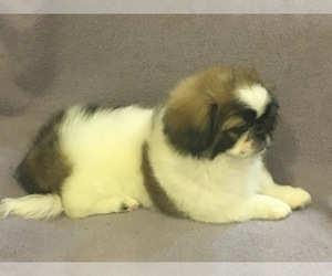 Pekingese Puppy for Sale in BROOKLYN, New York USA