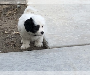 Lhasa Apso-Poodle (Standard) Mix Puppy for Sale in HIGHLAND, California USA