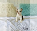 Small Photo #8 Chihuahua Puppy For Sale in COOKEVILLE, TN, USA