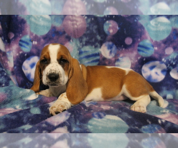 Medium Photo #4 Basset Hound Puppy For Sale in JOICE, IA, USA