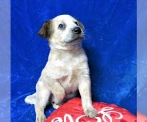 Australian Cattle Dog Puppy for Sale in GROVESPRING, Missouri USA