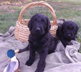 View Ad Labradoodle Puppy For Sale Near Michigan Holly Usa Adn 45285