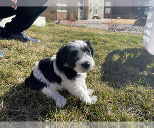 Schnauzer (Miniature) Puppy for sale in CO SPGS, CO, USA