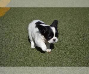 French Bulldog Puppy for sale in Mariupol, Donetsk, Ukraine