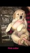 Golden Retriever Puppy For Sale in BRISTOL, VT, USA