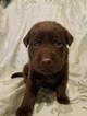 Labrador Retriever Puppy For Sale in ALGOMA, WI, USA