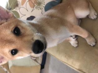 Shiba Inu Puppy For Sale in PLEASANT HILL, CA, USA