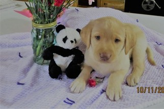 AKC Labrador Retriever puppies