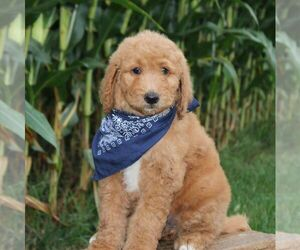 Goldendoodle-Poodle (Standard) Mix Puppy for sale in W ALEX, OH, USA