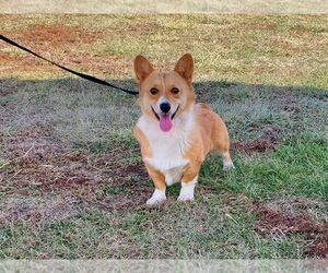 Mother of the Pembroke Welsh Corgi puppies born on 02/20/2021