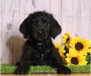 Rottle Puppy for sale in FREDERICKSBG, OH, USA