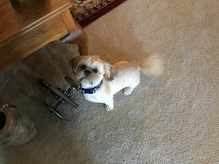 Shih Tzu Puppy For Sale in CONWAY, SC
