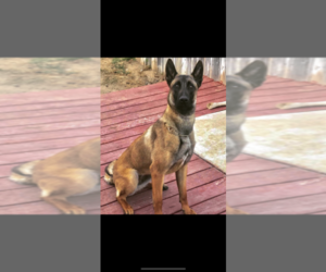 Belgian Malinois Puppy for sale in CHINO HILLS, CA, USA