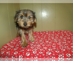 Yorkshire Terrier Dog for Adoption in PATERSON, New Jersey USA