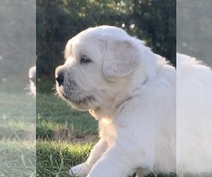 English Cream Golden Retriever Puppy for Sale in BLOOMINGTON, California USA