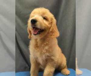 Goldendoodle Puppy for Sale in ANAHEIM, California USA