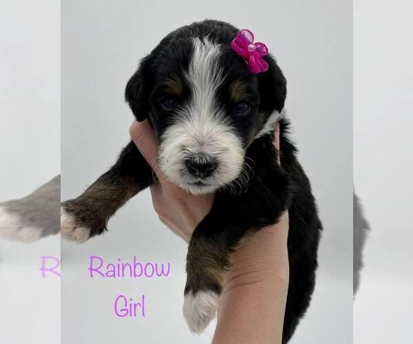Medium Photo #1 Bernedoodle Puppy For Sale in ARAGON, GA, USA