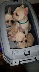 French Bulldog Puppy For Sale in CHICKAMAUGA, GA