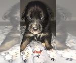 Small Photo #7 Australian Shepherd Puppy For Sale in HAMPTON, VA, USA