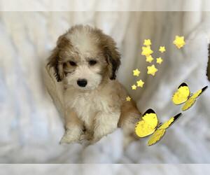 Maltese-Maltipoo Mix Puppy for Sale in SAN FRANCISCO, California USA