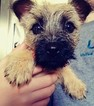 Female Cairn Terrier in Cleveland Ohio