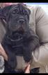 Bull-Pei Puppy For Sale in ESCONDIDO, CA, USA