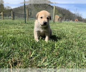 Great Pyredane Puppy for Sale in NEOLA, West Virginia USA