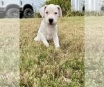 Puppy 8 Dogo Argentino