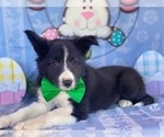 Small Photo #1 Border Sheepdog Puppy For Sale in LANCASTER, PA, USA