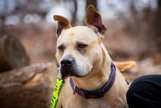 Leo - Boxer / Shepherd / Mixed (short coat) Dog For Adoption