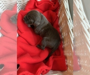 German Shorthaired Pointer Puppy for Sale in EVANS MILLS, New York USA