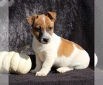 Small #5 Jack Russell Terrier