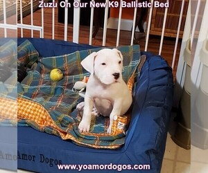 Dogo Argentino Puppy for Sale in PINEVILLE, Missouri USA