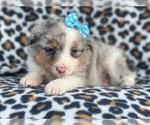 Small #10 Australian Shepherd