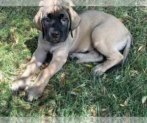 Mastiff Dog for Adoption in TEMECULA, California USA