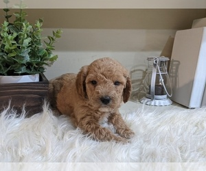 Labradoodle-Poodle (Miniature) Mix Puppy for sale in GOSHEN, IN, USA