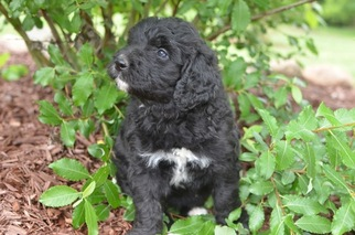 Bernedoodle Puppy For Sale in BOWLING GREEN, OH, USA