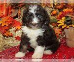 Puppy 6 Bernedoodle-Poodle (Miniature) Mix