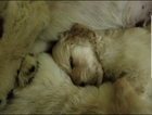 Goldendoodle Puppy For Sale in WICHITA, KS, USA