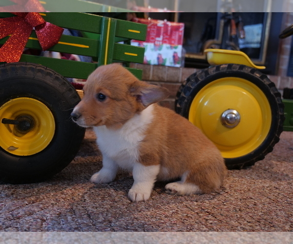 Medium Photo #5 Pembroke Welsh Corgi Puppy For Sale in SPRINGFIELD, MO, USA
