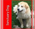Small #54 Great Pyrenees Mix