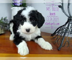 Sheepadoodle Puppy for Sale in SEYMOUR, Missouri USA