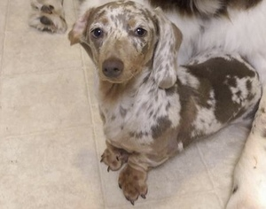 Dachshund Puppy for sale in LELAND, NC, USA