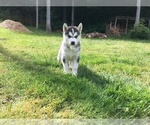 Siberian Husky Puppy For Sale in SNOHOMISH, WA, USA