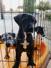 Great Dane Puppy For Sale in FONTANA, CA, USA