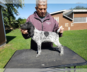 German Shorthaired Pointer Puppy for Sale in NORTH JUDSON, Indiana USA