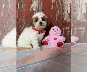 Poodle (Miniature) Puppy for sale in COSHOCTON, OH, USA