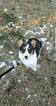 Pembroke Welsh Corgi Puppy For Sale in BUCKNER, MO, USA