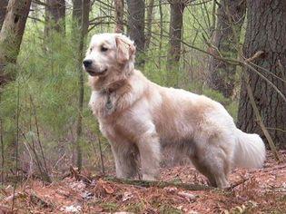 golden retrievers puppies in michigan